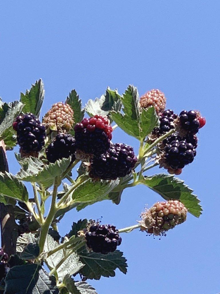 beautiful blackberries in the sky at a pick your own farm in prescott arizona
